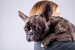 Brown french bulldog lying on owner`s shoulder royalty free stock photos