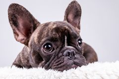 Brown french bulldog in lying position royalty free stock photography