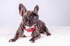 Brown french bulldog in lying position looking right stock photo