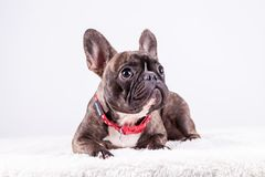 Brown french bulldog in lying position looking top royalty free stock photos