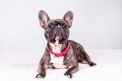 Brown french bulldog in lying position stock image
