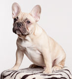 Brown french bulldog puppy Stock Photography