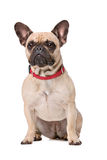 Brown French Bulldog Stock Photo
