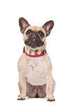 Brown French Bulldog Royalty Free Stock Photos