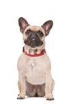 Brown French Bulldog Royalty Free Stock Photos