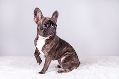 Brown french bulldog in sitting position stock photography