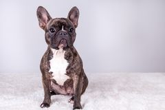 Brown french bulldog in sitting position stock images