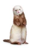 Brown-Frettchen, das auf einem weißen Hintergrund steht