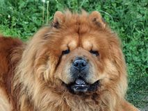 Brown friendly chow-chow dog Stock Images