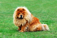 Brown friendly chow-chow dog in the city Royalty Free Stock Photography