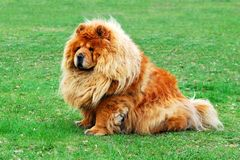 Brown friendly chow-chow dog in the city Royalty Free Stock Photos