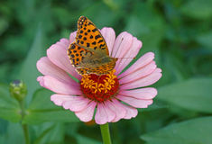 Brown fritillary butterfly on pink zinnia Royalty Free Stock Image