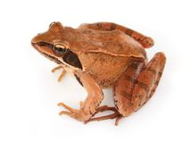 Brown frog Royalty Free Stock Photography