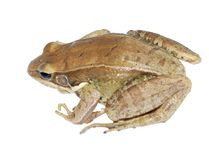 Brown frog Royalty Free Stock Images