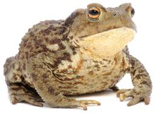 Brown Frog Stock Photography