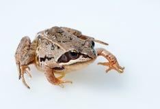 Brown frog Stock Photos