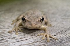 Brown Frog. Nose to nose with a brown tree frog Royalty Free Stock Photos
