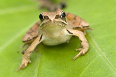 Brown frog Stock Photo