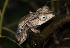 Brown Frog On Branch Royalty Free Stock Photo