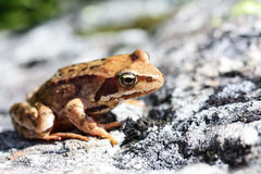 Brown frog close up Royalty Free Stock Images