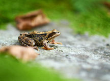 Brown frog with copyspace Stock Image