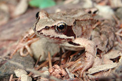 Brown frog in a forest. Close up brown frog in a forest Royalty Free Stock Photo