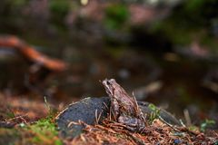 Brown frog in the forest stock photos