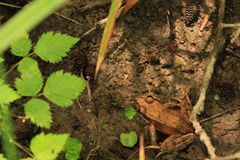 Brown Frog on the Forest Floor. A brown frog sits on the forest floor Stock Image