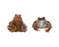 Brown frog from the front and from the back isolated Stock Photos