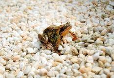 Brown frog in garden. Brown frog in the garden grit Royalty Free Stock Photos