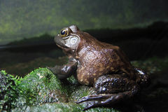 Brown Frog Stock Image