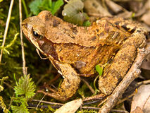 Brown frog on the grass Royalty Free Stock Photography