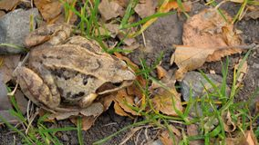Brown frog in grass. Common frog Rana temporaria in grass stock video footage