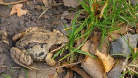 Brown frog in grass. Common frog Rana temporaria in grass stock video