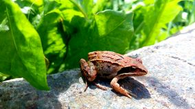 Brown frog Royalty Free Stock Image