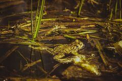 Brown Frog Beside Green Grass Royalty Free Stock Photography