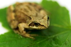 Brown frog on green leaf Stock Photos