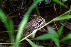 Frog in a swamp environment royalty free stock photography