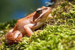 Brown Frog on Green Moss Stock Photo