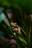 Brown frog on green stems Royalty Free Stock Photos