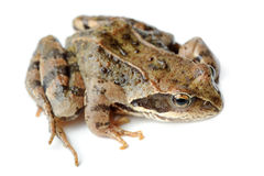 Brown Frog Isolated on White Background Royalty Free Stock Image
