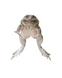 Brown frog Stock Images