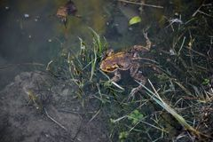 Brown frog in the lake. A beautiful Marsh Frog swimming in the lake royalty free stock photography