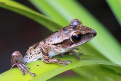 Brown frog on leaf Royalty Free Stock Images