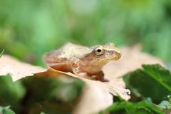 Brown frog on leaf Royalty Free Stock Image