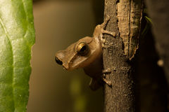 The brown frog. The brown frog live in the park at night Royalty Free Stock Images