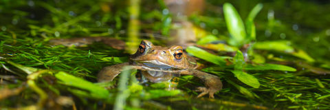 Brown frog panorama Stock Images