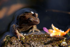 Brown frog in pond Stock Photography