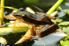 Brown frog in pond stock images