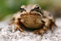 Brown frog Rana temporaria Stock Photography